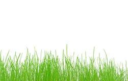 Nytt fjädra gräs på en vitbakgrund Arkivbild
