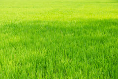 Nytt fjädra grönt gräs Royaltyfria Foton