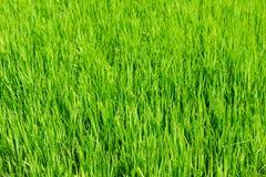 Nytt fjädra grönt gräs, unga gräsplaner av rice Royaltyfri Fotografi