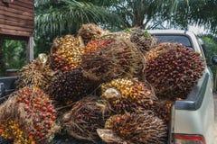 Nytt gömma i handflatan olje- frukt Arkivfoto