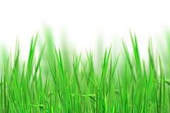 nytt gräs för bakgrund Arkivfoton