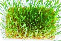 Nytt gräs i studio Fotografering för Bildbyråer