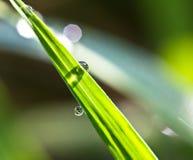 Nytt gräs med daggdroppar Royaltyfria Bilder