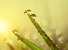 Nytt gräs med daggdroppar på soluppgång Royaltyfria Bilder