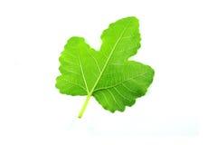 Nytt grönt blad Arkivbilder