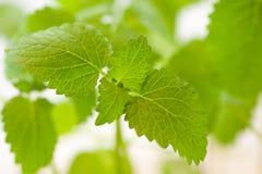 Nytt grönt blad av Melissa över vit Royaltyfria Foton