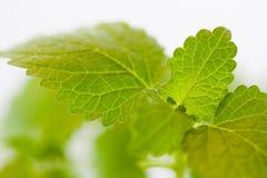 Nytt grönt blad av Melissa över vit Arkivbild