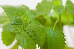 Nytt grönt blad av Melissa över vit Arkivfoto