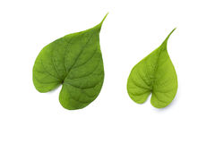 Nytt grönt blad för hjärta Royaltyfria Bilder
