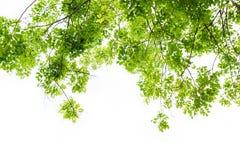 Nytt grönt blad med vit bakgrund som isoleras Fotografering för Bildbyråer