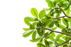 Nytt grönt blad som isoleras Royaltyfria Foton