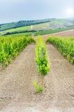 Nytt grönt fält av druvor i Chianti Fotografering för Bildbyråer