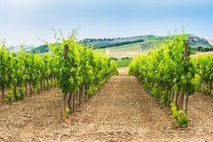 Nytt grönt fält av druvor i Chianti Arkivbilder
