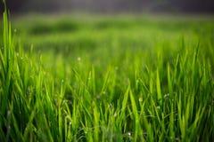 Nytt grönt gräs Fotografering för Bildbyråer