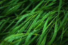 Nytt grönt gräs med daggdroppar stänger sig upp Royaltyfri Fotografi