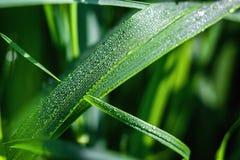 Nytt grönt gräs med daggdroppar stänger sig upp Grön gräsbakgrund Droppe av dagg i morgon på bladet med solljus Royaltyfria Bilder