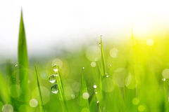 Nytt grönt gräs med vatten tappar closeupen Arkivbild