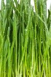 Nytt grönt gräs med vattendroppar royaltyfri foto