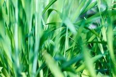 Nytt grönt gräs med vattenlilla droppen i solsken Royaltyfria Bilder