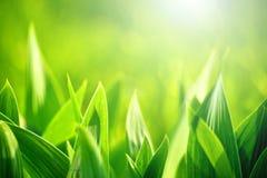 Nytt grönt gräs som bakgrund för vårsäsong Royaltyfria Bilder