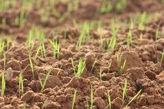 Nytt grönt gräs som växer i fältet Arkivfoto