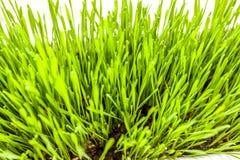 Nytt grönt gräs som växer i jord Arkivfoton