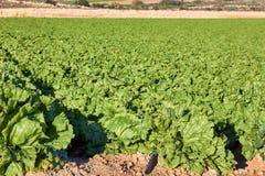 Nytt grönt grönsallatfält arkivfoton
