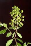 Nytt grönt hennaväxt OCH FRÖ royaltyfria foton
