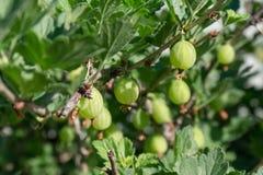 Nytt grönt krusbär på en filial royaltyfria foton