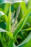 Nytt grönt risgrov spikfält arkivfoton