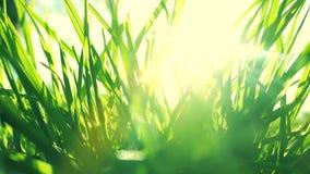 Nytt gr?s p? ett soligt gr?nt f?lt p? soluppg?ng, naturbakgrund arkivfilmer
