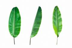 Nytt isolerat bananblad Arkivfoto