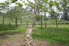 Nytt kneg på kiwivinranka i fruktträdgården, Kerikeri, Nya Zeeland, royaltyfri fotografi