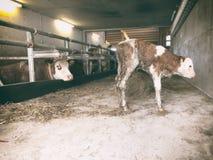 Nytt levererad kalv från modern Arkivbilder