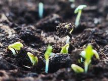Nytt livbörjanbegrepp Att spira kärnar ur från jordcloseupen växande planta Arkivbild