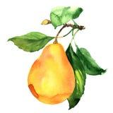 Nytt moget päron med bladet på den isolerade filialen, vattenfärgillustration Royaltyfri Bild
