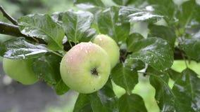 nytt organiskt för äpple stock video