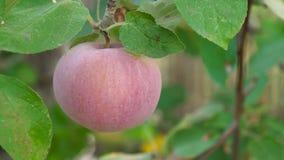 nytt organiskt för äpplen arkivfilmer