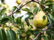 Nytt päron och gröna blad i päronträd Arkivbild