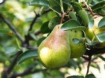 Nytt päron och gröna blad i päronträd Arkivfoton