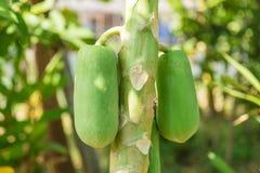 nytt papayaträd med gruppen av frukter Royaltyfria Foton