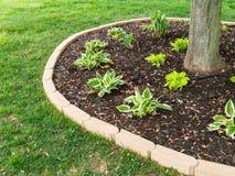 Nytt planterade hostasplantor runt om ett träd Arkivfoto