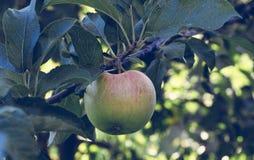 Nytt saftigt äpple på trädet Arkivfoton