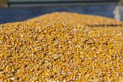 Nytt skördad kornhavre i en kornsläp under Autumen arkivfoton