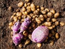 Nytt skördad potatisar, kål och kålrabbi Arkivbild