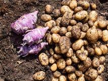 Nytt skördad potatisar och kålrabbi Arkivbilder