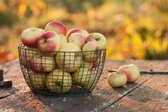Nytt skördade äpplen Fotografering för Bildbyråer