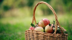 Nytt skördade äpplen Äpplen i gräs stock video