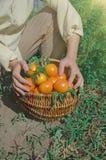 Nytt skördade gula tomater Nya gula tomater på jordning Royaltyfri Foto