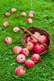 Nytt skördade mogna äpplen i en brun vide- korg som ligger på dess sida Trädgård grönt gräs Arkivfoton